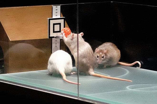 Крысиный баскетбол